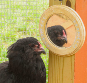 Macro_Chicken_Blackie_Mirror2 - 1