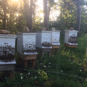 "Four thriving hives.  This is called ""bearding."""