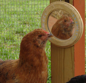 Macro_Chicken_Red_Mirror - 1 (1)