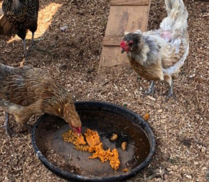 chickens eating pumpkin